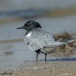 3702 Black Tern (Chlidonias niger), Bolivar Peninsula, Texas