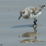 3705 Sanderling (Calidris alba), Bolivar Peninsula, Texas