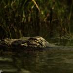 3707 Sleeping Alligator, Anahuac NWR, Texas