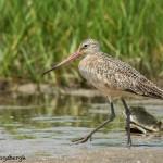 3709 Marbled Godwit (Limosa fedoa), Bolivar Peninsula, Texas