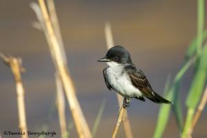 3711 Eastern Kingbird (Tyrannus tyrannus), Anahuac NWR, Texas