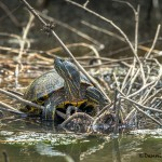 3715 Yellow-bellied Slider (Trachemys scripta), Anahuac NWR, Texas