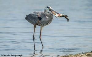 3716 Great Blue Heron (Ardea herodias), Anahuac NWR, Texas