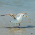 3722 Ring-billed Gull (Larus delawarensis), Bolivar Peninsula, Texas