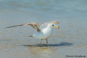 3722 Ring-billed Gull (Larus delawarensis), Bolivar Peninsula, Texas