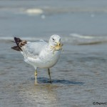 3723 Ring-billed Gull (Larus delawarensis), Bolivar Peninsula, Texas