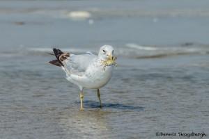 3723 Ring-billed Gull (Larus delawarensis), Bolivar Peninsula, Texas