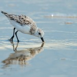 3725 Sanderling (Calidris alba), Bolivar Peninsula, Texas