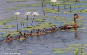 3728 Black-bellied Whistling Ducks (Dendrocygna autumnalis), Anahuac NWR, Texas