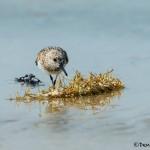 3720 Sanderling (Calidris alba), Anahuac NWR, Texas