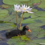 3730 Common Gallinule (Moorhen) Chick (Gallinula chloropus), Anahuac NWR, Texas
