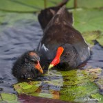 3731 Common Gallinule (Moorhen) with Chick (Gallinula chloropus), Anahuac NWR, Texas