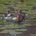 3732 Black-bellied Whistling Ducks (Dendrocygna autumnalis), Anahuac NWR, Texas