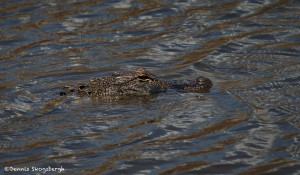 3735 Alligator, Anahuac NWR, Texas
