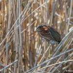 3736 Green Heron (Butorides virescens), Anahuac NWR, Texas