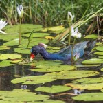 3739 Purple Gallinule (Porphyrio martinica), Anahuac NWR, Texas