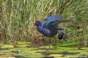3741 Purple Gallinule (Porphyrio martinica), Anahuac NWR, Texas