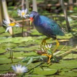 3743 Purple Gallinule (Porphyrio martinica), Anahuac NWR, Texas