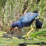 3744 Purple Gallinule (Porphyrio martinica), Anahuac NWR, Texas