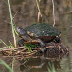 3745 Yellow-bellied Slider (Trachemys scripta), Anahuac NWR, Texas