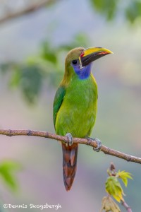 3750 Emerald Toucanet, Costa Rica
