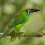 3821 Crimson-rumped Toucanet (Aulacorhynchus haematopygus), Tandayapa Lodge, Ecuador