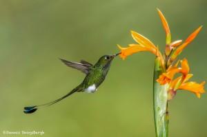 3824 Booted Racket-tailed Hummingbird (Ocreatus underwoodii), Tandayapa Lodge, Ecuador