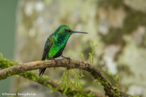 3826 Western Emerald (Chlorostilbon melanorhyncus). Tandayapa Lodge, Ecuador