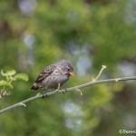3830 Darwin Finch, Sanata Cruz Island, Galapagos