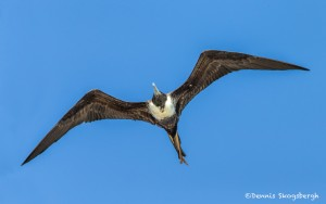 3833 Female Frigatebird (Fregata magnificens), Galapogos Islands