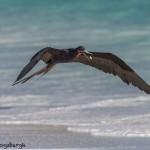 3835 Frigatebird, Espanola Island, Galapagos