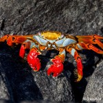 3837 Sally Lightfoot Crab (Graspus grapsus), Galapagos Islands