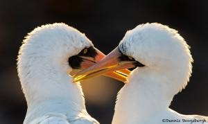 3839 Nazca Booby Pair, Galapagos Islands