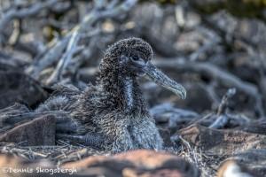 3845 Waved (Galapagos) Albatros Chick (Phoebastria irrorata), Espanola Island, Galapagos