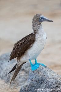 3848 Blue-footed Booby (Sula nebouxii), Espanola Island, Galapagos