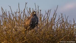 3847 Galapagos Hawk, Espanola Island, Galapagos