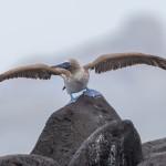 3851 Blue-footed Booby (Sula nebouxii), Espanola Island, Galapagos