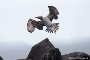 3853 Blue-footed Booby (Sula nebouxii), Espanola Island, Galapagos
