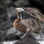 3853 Brown Pelican (Pelicanus occidentalis), San Cristobal Island, Galapagos