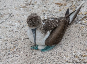 3854 Blue-footed Booby (Sula nebouxii), San Cristobal Island, Galapagos