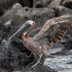 3857 Brown Pelican (Pelicanus occidentalis), San Cristobal Island, Galapagos