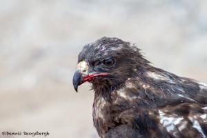 3859 Galapagos Hawk (Buteo galapagoensis), San Cristobal Island, Galapagos