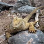 3865 Galapagos Land Iguana (Conolophus subcristatus), Sante Fe Island, Galapagos