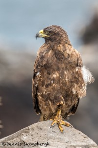 3866 Galapagos Hawk (Buteo galapagoensis), Santa FE Island, Galapagos