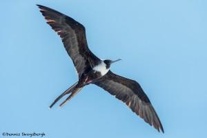 3868 Female Frigatebird (Fregata magnificens), Sante Fe Island, Galapogos