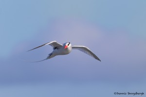3870 Red-billed Tropicbird (Phaethon aethereus), South Plaza Island, Galapagos