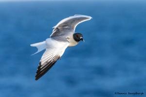 3874 Swallow-tailed Gull (Creagrus furcatus), South Plaza Island, Galapagos