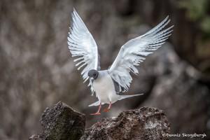 3877 Swallow-tailed Gull (Sula granti), Genovesa Island, Galapagos