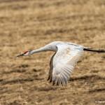 3885 Sandhill Crane (Grus canadensis), Bosque del Apache NWR, New Mexico