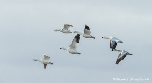 3886 Snow Geese (Chen caerulescens), Bosque del Apache NWR, New Mexico